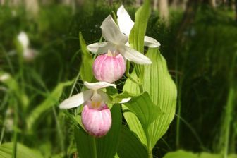 Nature_showy lady slippers Purdons Conservation Area3 _summer_Marie White_2010